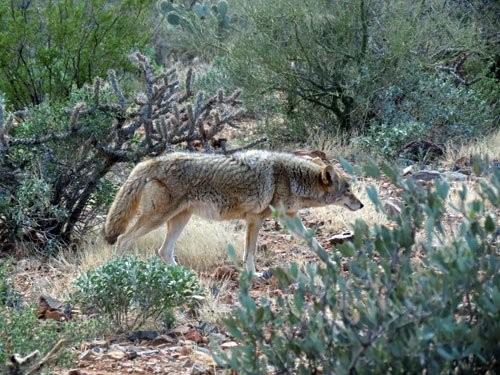 Coyote at the Arizona Sonora Desert Museum